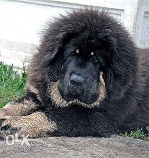 OXFORD KENNEL We Have Excellent Show Quality Tibetan mastiff