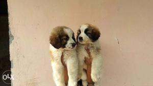 Origional pic Show quality saint Bernard puppy