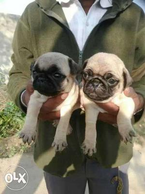 Pug pure BREED Puppies available male at