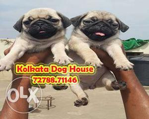 Royal canine PUG Dogs waiting for sell ~ KOLKATA DOG HOUSE
