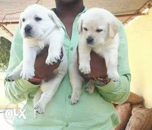 Show quality lab puppy available with champion