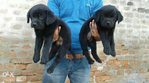 Z black labrador female puppy avilable for show