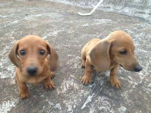 47 days dachshund puppets for sale