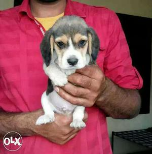 Beagle healthy Puppies available pure breed