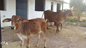 Brown And White Cattle And Calf