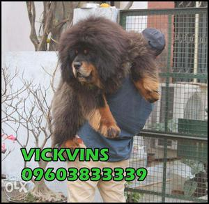Delhi: Tibetan Mastiff, Turkish Kangal, Caucasian Mountain,