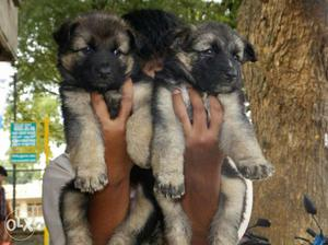 GERMAN SHEPHERD all over india delivery 45 days