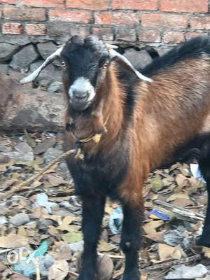 Goats for sale in kollam
