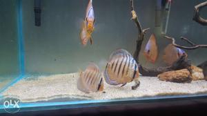 Good quality red cover blue rim discus for sale.