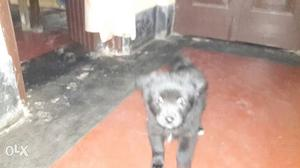Healthy spenial puppy white female and black