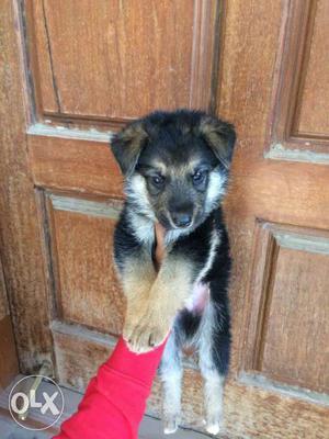 Labrador Good Nd Dog For Shepard