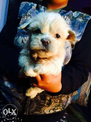Lhasa apso puppies available all breeds puppies