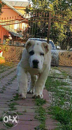 Mastiff, Alabai, Pitbulls, Bully, Boerboel, Terriers, Akita,