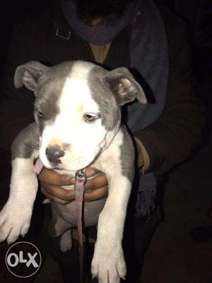 Pit bull pure line in very low price