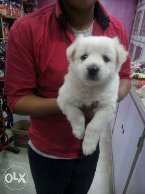 Pomearian puppy male ready to new home