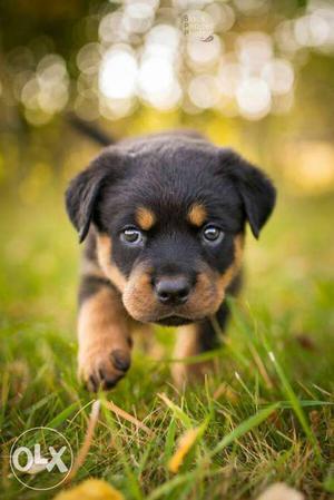 Puppies of german shepherd,rottweiler,