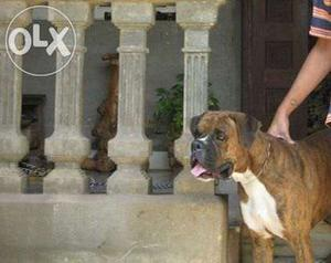 Quality Ch line Boxer Male Available For Stud Service.