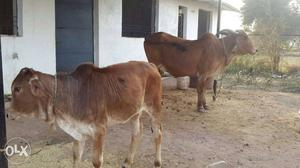 Cow gir cows at pudukkottai | Posot Class