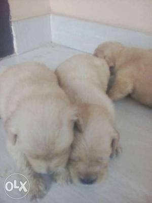 Show quality golden retriever puppies for sale.(3