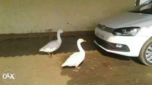 2 Peckin Ducks