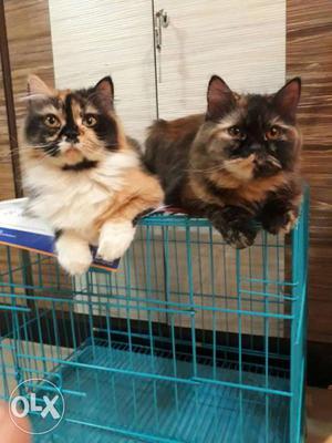 2 Tricolor Cats