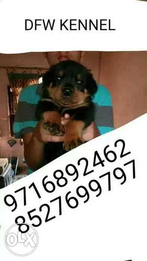 35 days old very top quality k ((Rottweiler