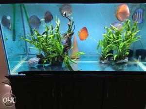 4ft Discus aquarium, 8 nos 6 inches imported