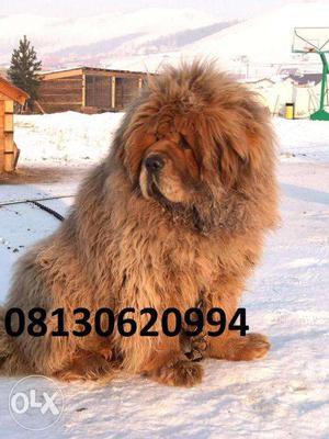 Active KENNEL=((00 best quality Tibetan mastiff male puppies