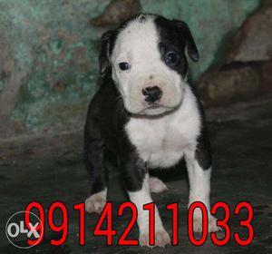Black American Staffordshire Terrier Puppy American pitbull