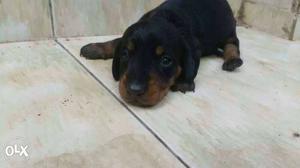 Dachshund puppies available in kottayam Chengalam