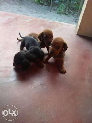 Dash puppy (paravoor)