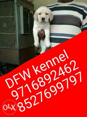 Faridabad and Delhi NCR offer...Labrador and all