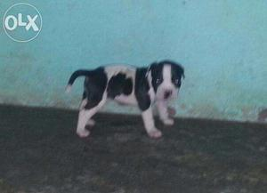 Father american bully mother pitbull 30 days female pupp for