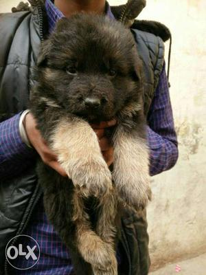 German Shepard Puppies Ready Available For Sale