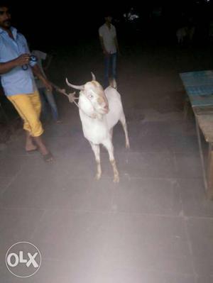 Olx Goat Price