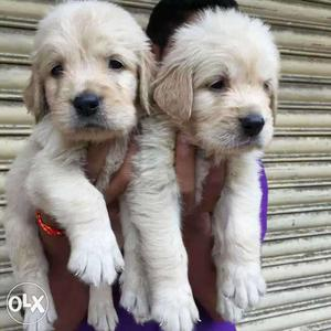 Golden retriever 35 to 45 days old puppies all