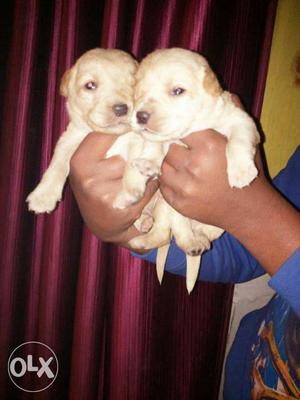 Labrador fawn colour puppies available all dog