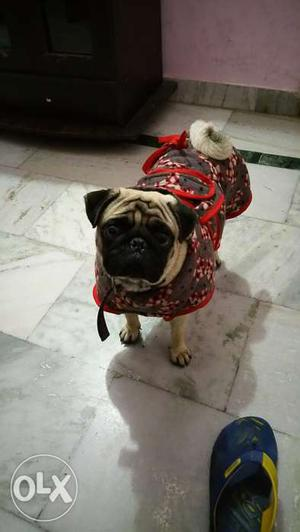 Pug, 1 year 6 months old in jalandhar cantt