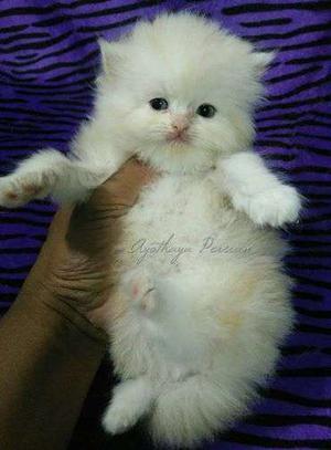 Pure cute persian cat kitten sale.all color sale.healthy