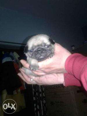 Show quality pug puppy