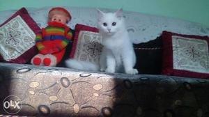 Snow White and Orange Persian kittens available