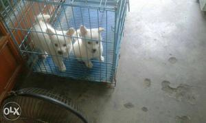 Spitz puppies available call for details