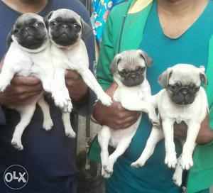 Suprb 100% show quality pug puppy availabl..