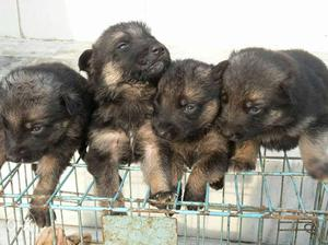 Top quality labrador and german shephrd puppies sel