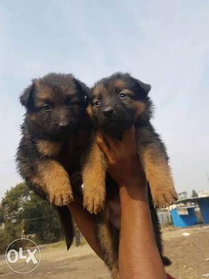 Top quelity gsd pups for sale top breed not a