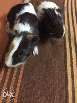 *guinea pigs pair *tricolor *male and female