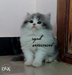 Pure Persian kittens Valentine day free delivery offer at