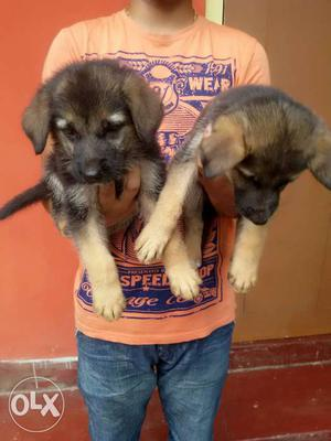 Show quality German Shepherd Puppies