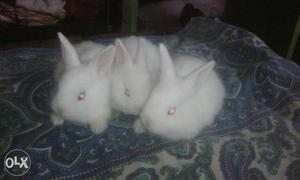 3 pice little Rabbits (Age: 25 days)