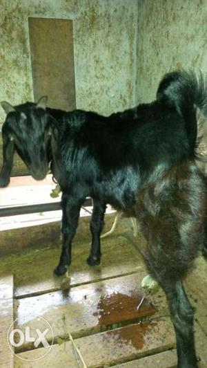 5 month male goats. 4th generation hirarkey of